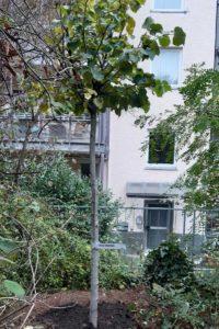 wanderbaumallee-pflanzung-3