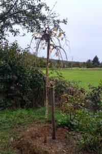 wanderbaumallee-pflanzung-4